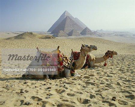 Chameaux au repos par les pyramides de Gizeh, le Caire, Egypte