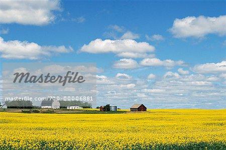 Ferme et Saskatchewan champ de Canola, Canada