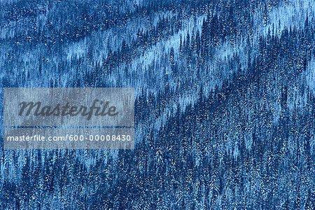 Arbres Parc National de Jasper (Alberta), Canada