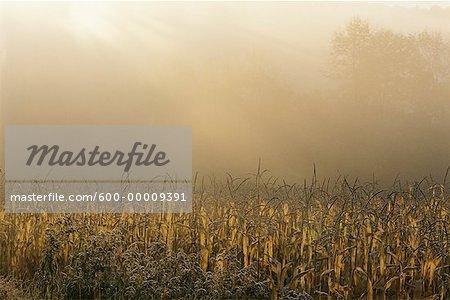 Champ de maïs au lever du soleil avec brouillard New Hampshire, USA