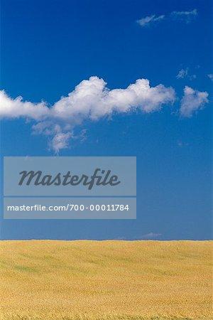 Champ de blé près de Drumheller, Alberta, Canada