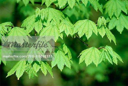 Vine Maple Leaves Olympic National Park Washington, USA