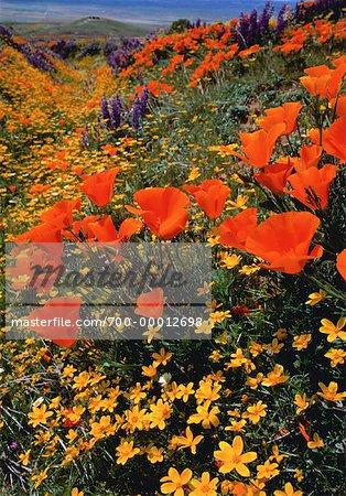 Pavot de Californie et de fleurs sauvages en Californie, USA