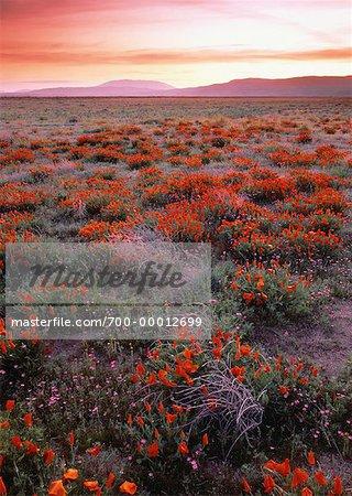 California Poppies Antelope Valley, California, USA