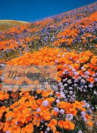 Pavot de Californie et de fleurs sauvages, Antelope Valley, Californie, USA