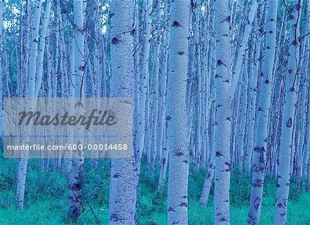 Aspen arbres Parc National de Jasper (Alberta), Canada
