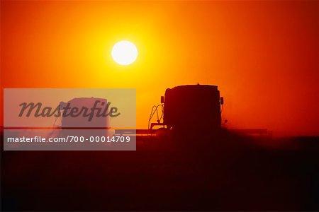 Silhouette de moissonneuses-batteuses récolte de blé au coucher du soleil en Saskatchewan, Canada