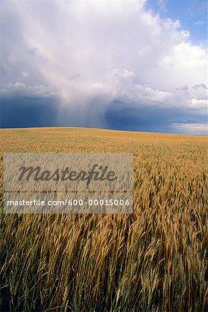 Wheat Field Near Swift Current, Saskatchewan Canada
