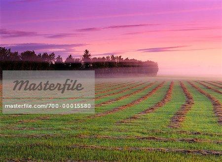 Brouillard à l'aube près de Wynyard (Saskatchewan) Canada