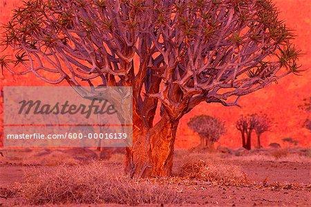Carquois arbres à Sunrise Kokerboomkloof Richtersveld National Park Afrique du Sud