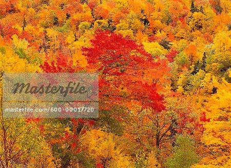 Arbres en automne, Cape Breton Highlands National Park, Nova Scotia, Canada