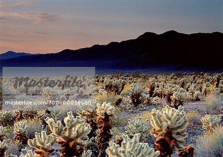 Cholla Cactus Joshua Tree National Park California, USA