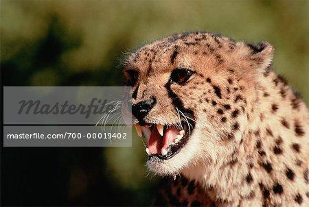 Vrille guépard en Afrique du Sud