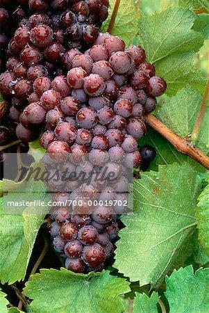 Gros plan de raisins de la vigne (Ontario), Canada