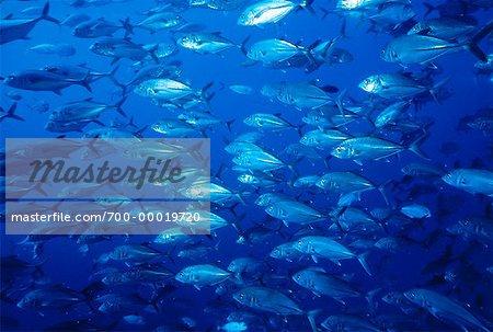 Underwater View of Crevalle Jacks Off Socorro Islands, Mexico