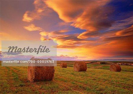 Bottes de foin dans les champs au coucher du soleil, près de Pincher Creek, Alberta, Canada