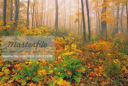 Ahorn Wald Im Herbst Gatineau Park Quebec Kanada Stockbilder