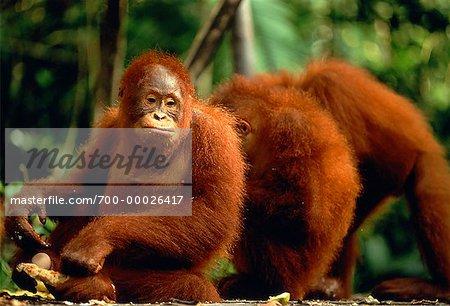 Orangs-outans Sarawak, Malaisie