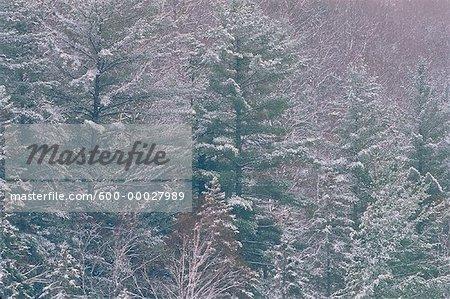 Mixed Forest, Petawawa River Algonquin Provincial Park Ontario, Canada