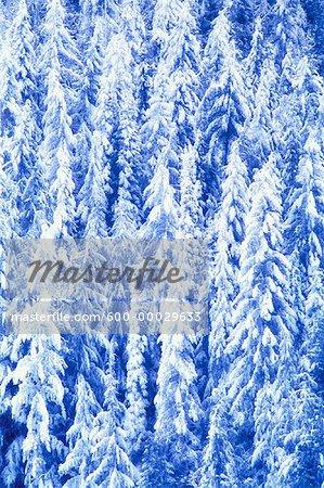 Snow Covered arbres Glacier National Park, Colombie-Britannique, Canada