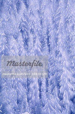 Chute de neige fraîche sur les arbres Glacier National Park, Colombie-Britannique, Canada