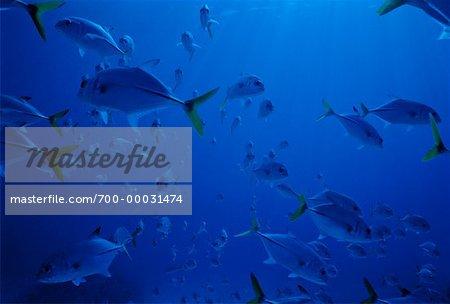 Underwater View of Horse Eye Jacks Bahama Islands