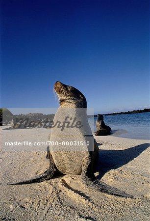 Galápagos Sea Lions Iles Galapagos, Equateur