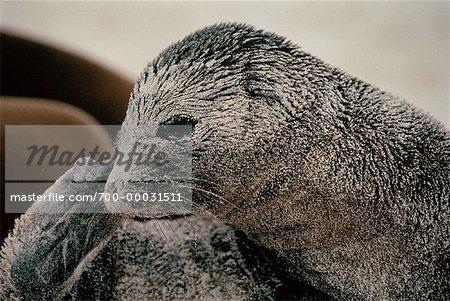 Galapagos Sea Lion Galapagos Islands, Ecuador