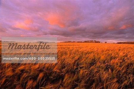 Champ d'orge au coucher du soleil, près d'Edmonton, Alberta, Canada