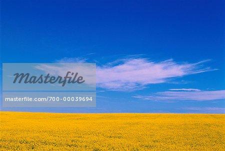 Champ de canola et de ciel (Alberta), Canada