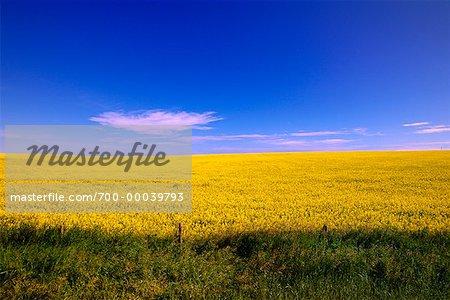 Champ de canola et ciel sud de l'Alberta, Canada