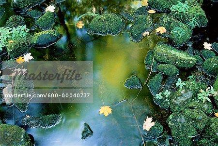 Feuilles d'automne dans la flaque d'eau Klaxton Creek, Haliburton, Ontario, Canada