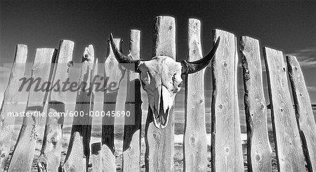 Crâne de bison sur la clôture de l'Alberta, Canada