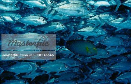 Vue sous-marine de l'école de caranges, île de Sipidan près de Bornéo, Sabah, Malaisie