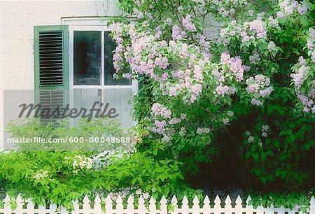 Fenêtre et lilas, Kingston, Ontario, Canada