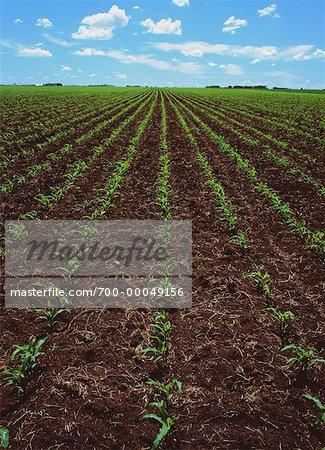 Récolte de maïs dans les premiers stades de croissance, de Stonewall, Manitoba Canada