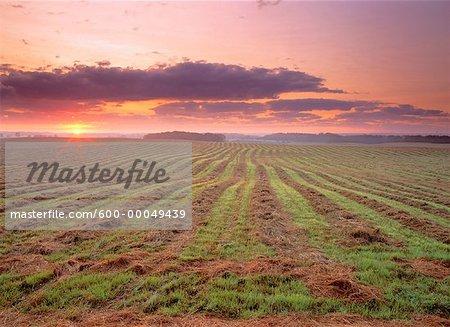 Swathed Field at Sunrise Edmonton, Alberta, Canada