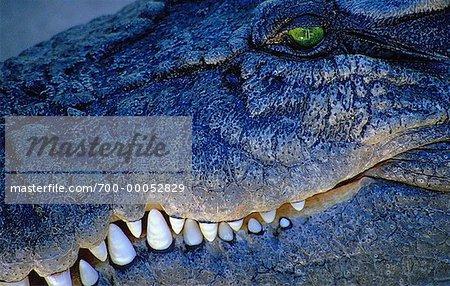 Close-Up of Salt Water Crocodile Queensland, Australia