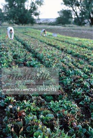 Travailleurs sur Organic Farm comté de Boulder, Colorado, Etats-Unis