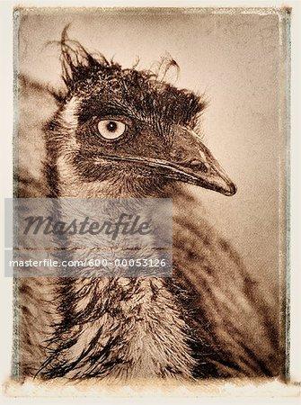 Close-Up of Emu Queensland, Australia