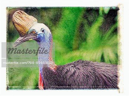 Profile of Cassowary Queensland, Australia