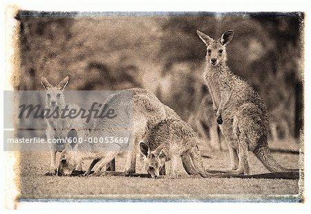 Four Kangaroos in Field Queensland, Australia