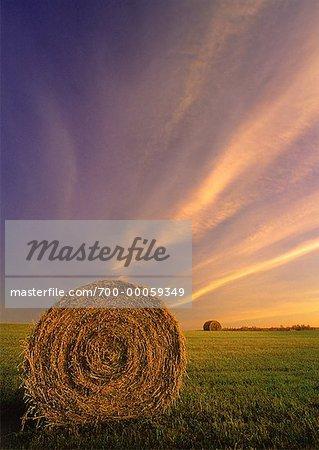 Bottes de foin dans les champs au lever du soleil, près d'Edmonton, Alberta, Canada