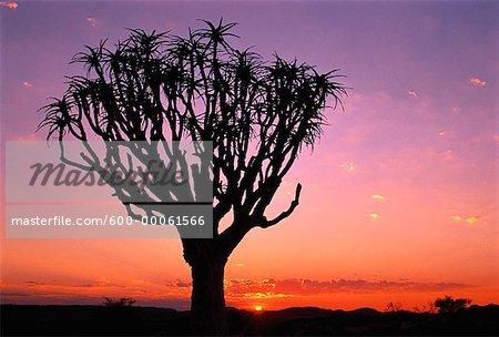 Silhouette d'arbre carquois au coucher du soleil, Augrabies Falls National Park, Afrique du Sud