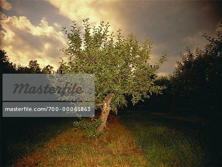 Arbre avec des pommes dans le champ à la tombée de la nuit (Ontario), Canada