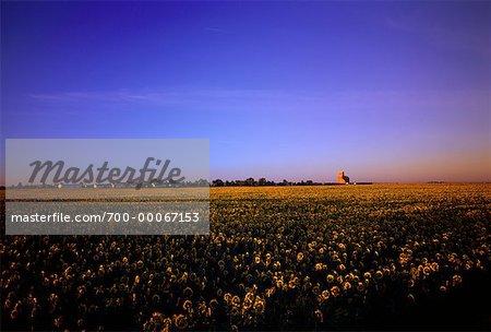 Champ tournesol et ciel, Saskatchewan, Canada