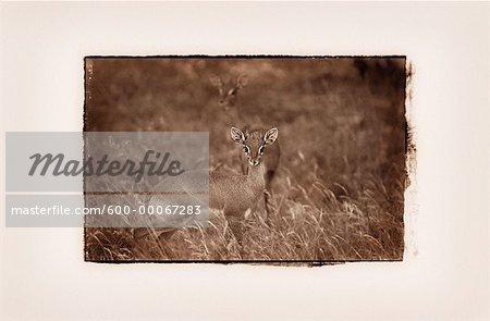 Dik-dik, Parc National d'Amboseli, Kenya, Afrique