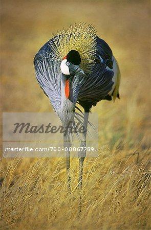 Gray Crowned Crane in Field Amboseli National Park Kenya, Africa