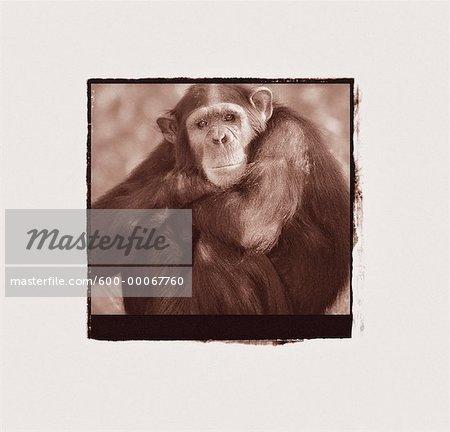 Portrait de chimpanzé avec bras croisés