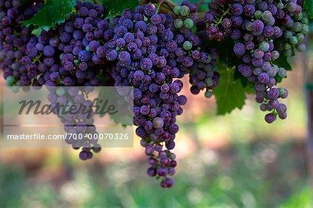 Grape Vines vallée de l'Okanagan en Colombie-Britannique, Canada